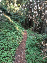 Peters Creek Grove, Portola Redwoods State Park. Miranda Leitsinger.